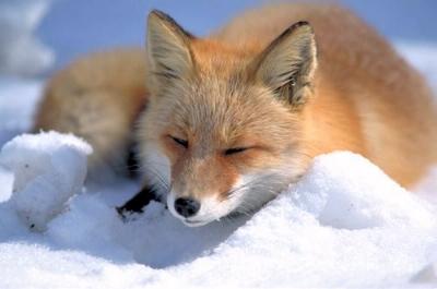 0162-vulpes_vulpes_laying_in_snow.jpg