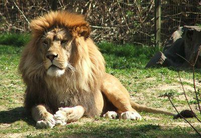 0287-rostock_zoo_lion_2007.jpg