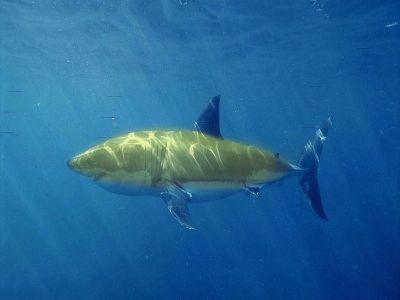 0323-banana_shark.jpg