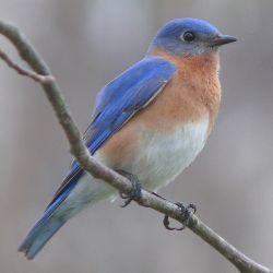 0429-eastern_bluebird-27527-2.jpg