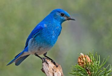 0429-mountain_bluebird.jpg