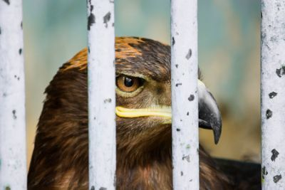 0517-large_portrait_of_a_hawk_in_a_cage.jpg
